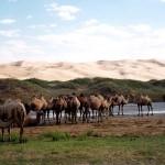 Mongolie - Désert de Gobi