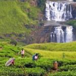 Sri Lanka - Nuwara-Eliya - Plantations de Thé