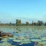 USA - Louisiane - Lafayette - Bayou - Alligator