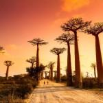 Madagascar - l'Allée des Baobabs