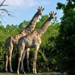 Zimbabwe - Parc de Chobe